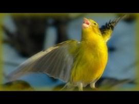 singing canary